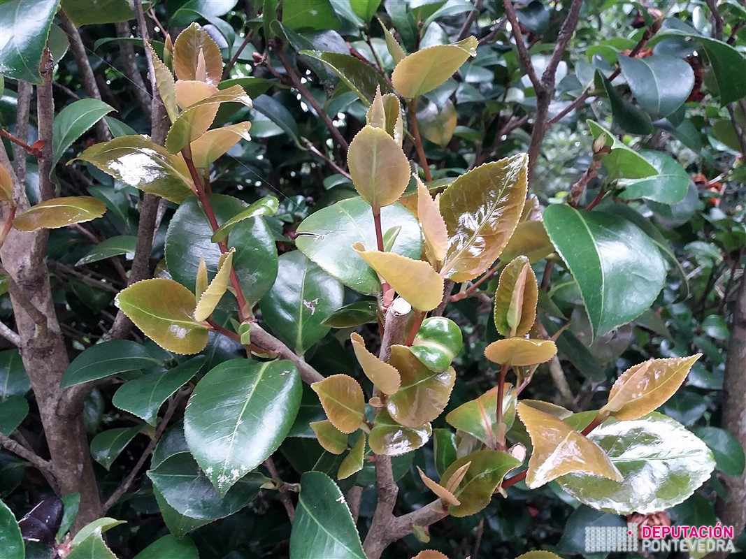 05xullo17_Algunos cultivares de camelia muestran brotacion.jpg