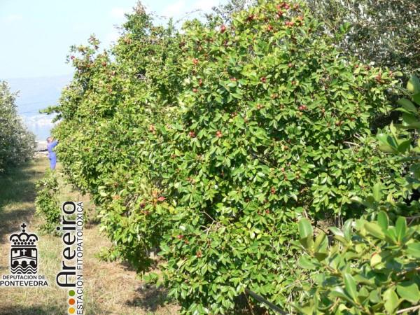 Guayabo fresa (Psidium cattleianum) - Detalle plantacion.jpg