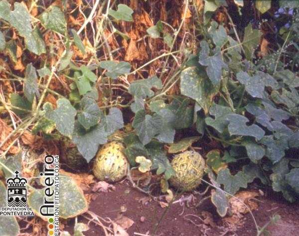 Kiwano (Cucumis metuliferus) - fruto en la Planta.jpg