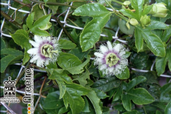 Maracuya (Passiflora edulis) - Flor.jpg
