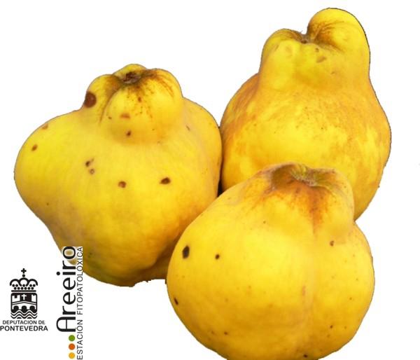 Membrillo (Cydonia oblonga) - fruto.jpg