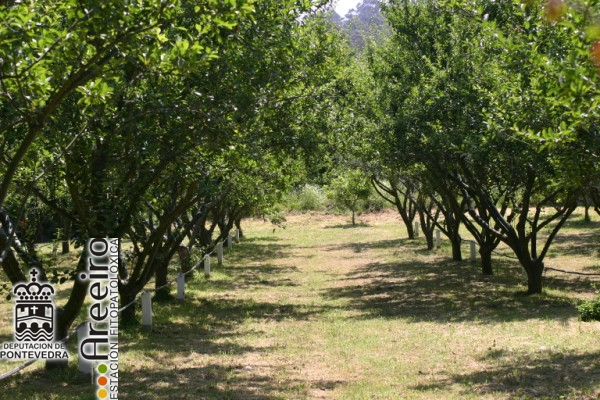 MIRABEL (Prunus insititia) Detalle plantacion_2.JPG