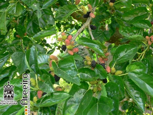 Mora Negra (Morus nigra) - Fruto en el arbol_2.jpg