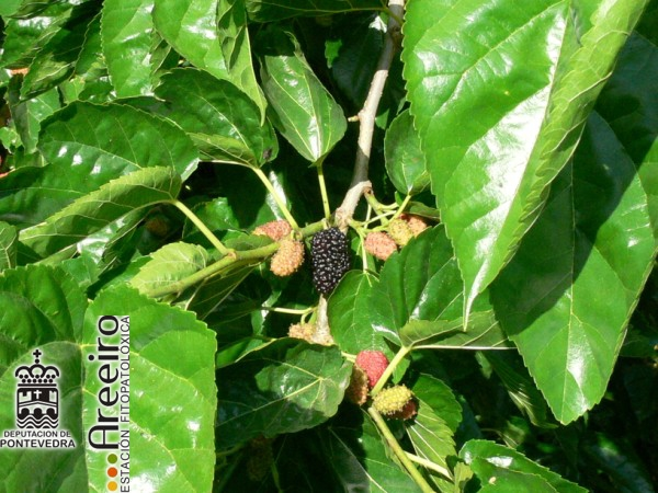 Mora Negra (Morus nigra) - Fruto en el arbol_5.jpg