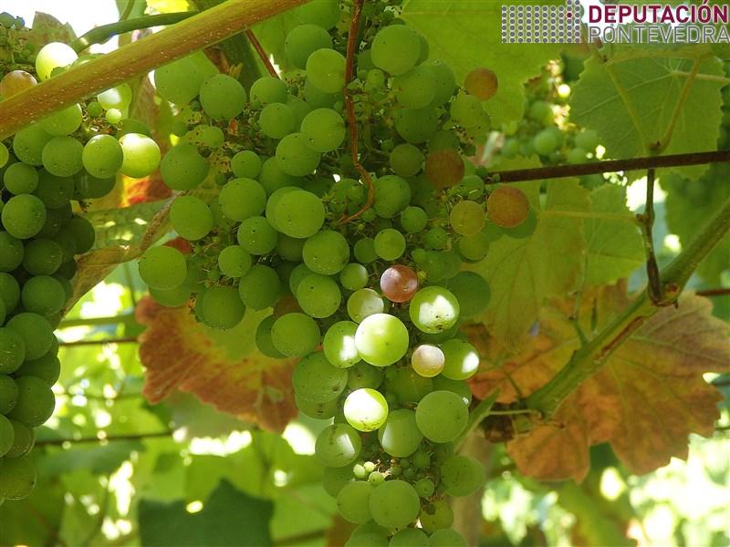 01ago18 Grans variedades temperas empezan pintado en sitios calidos.jpg