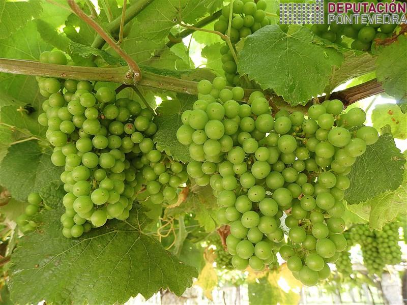 04xull18_Tamaño uva nunha finca Salnes.jpg