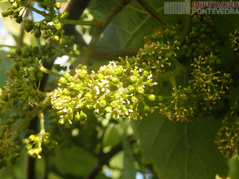 Nalgunhas viñas Salnés empeza floración