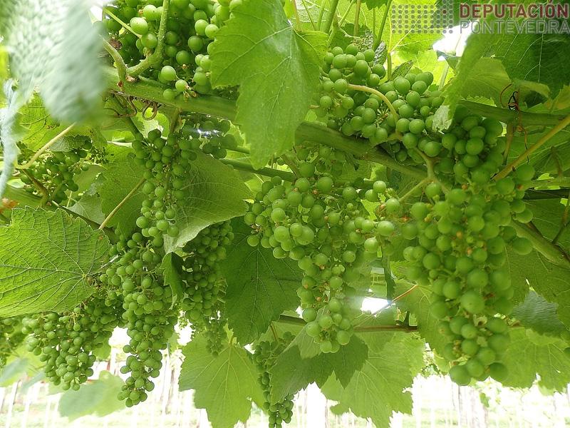 Hai moitas viñas cos acios completamente sas