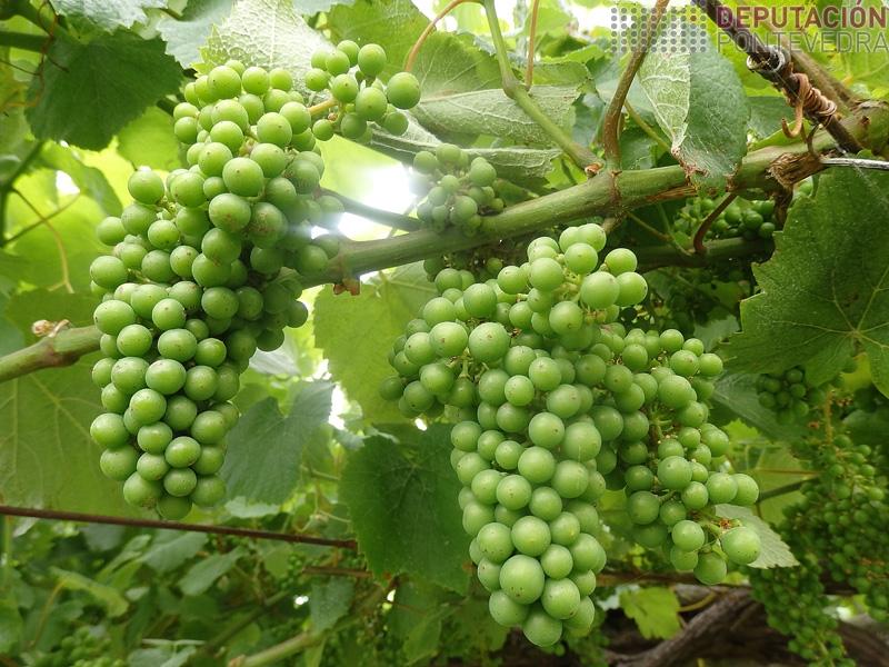 O tamaño da uva incrementouse ben esta semana