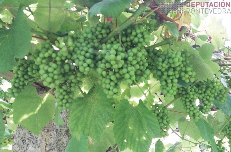 Bo estado da uva en xeral