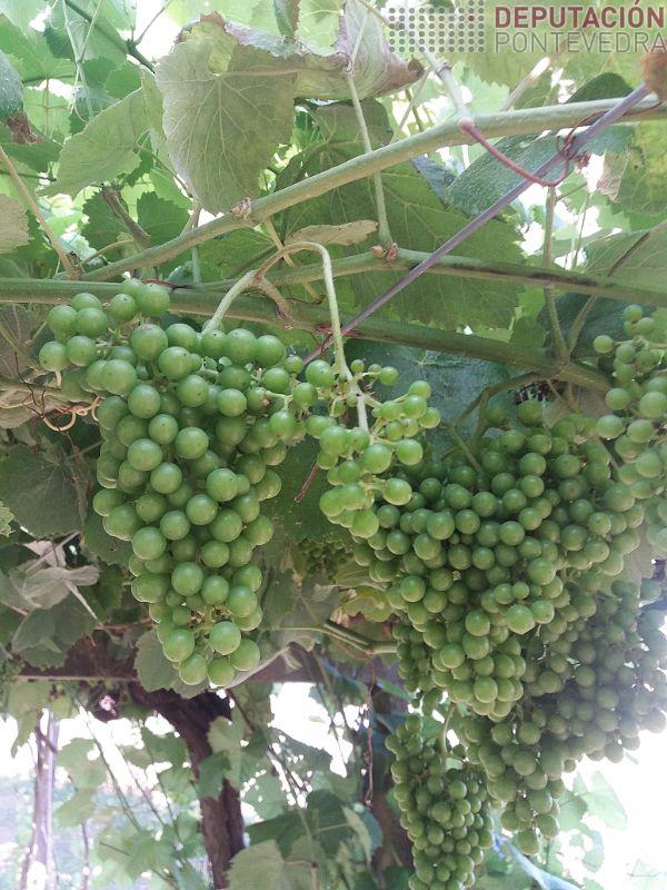 Tamaño uva Albariño en viña Salnés