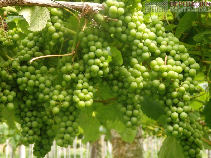 Estado xeral da uva excelente