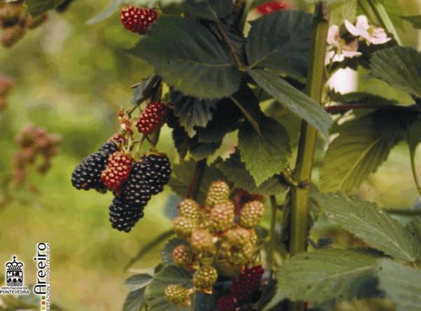 Zarzamora (Rubus sp.) - Distintos estados de maduracion del fruto.jpg