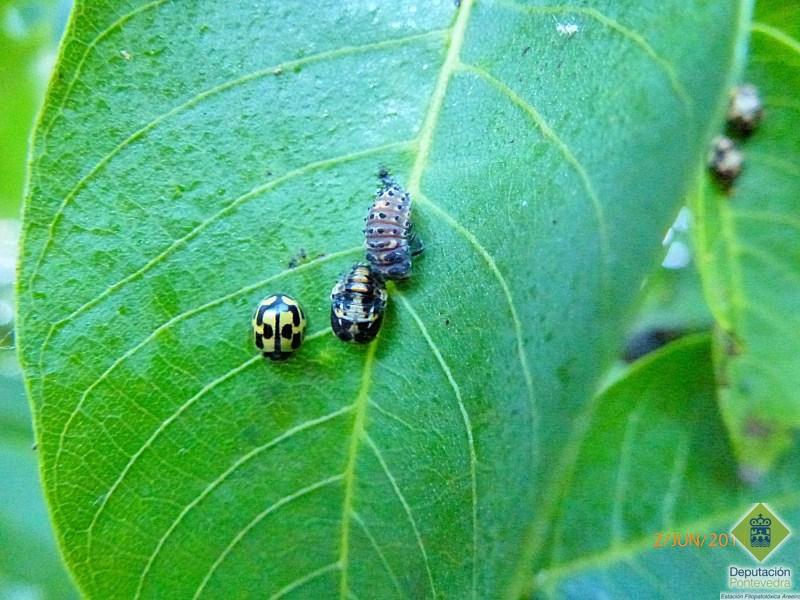 Larva pupa y adulto de coccinelido.jpg