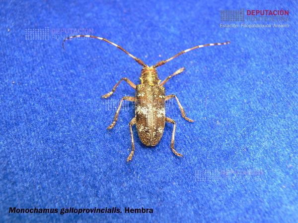Monochamus-galloprovincialis-Hembra-cn.jpg