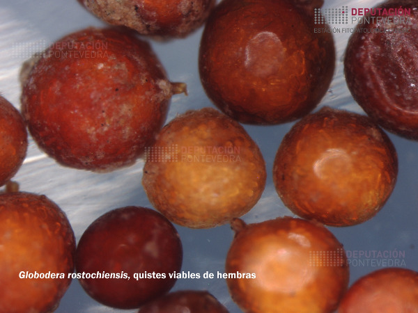 Globodera-rostochensis-Quistes-hembras.jpg