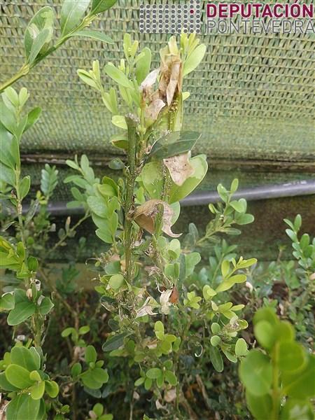 20200616_Sitios favorables algunhas plantas buxo sen tratar xa este aspecto