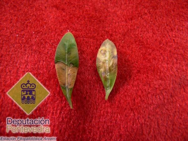 Detalle del sintoma en hojas.jpg