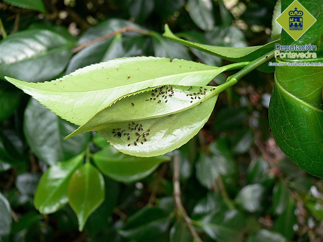 Colonia de Toxoptera aurantii con abundancia de ninfas.jpg