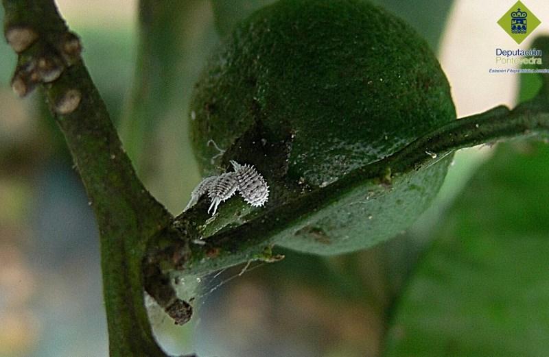 Planococcus citri en mandarina.jpg