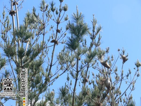 Thaumetopoea pytiocampa (procesionaria) - Defoliacion.jpg