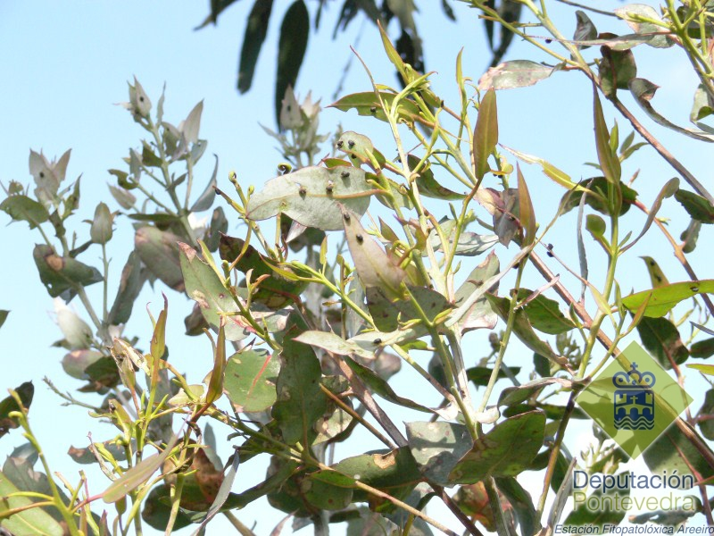 Ootecas de Gonipterus en brote de eucalipto.jpg