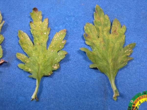 TSWV (Virus del bronceado del tomate) - Crisantemo tswv_1.jpg