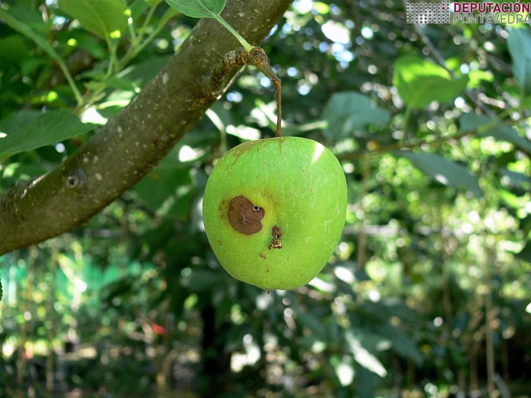 Daño en manzana por polillas y pudricion.jpg