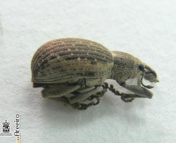 Curculionidos - Adulto de Cneorrhynus dispar.jpg