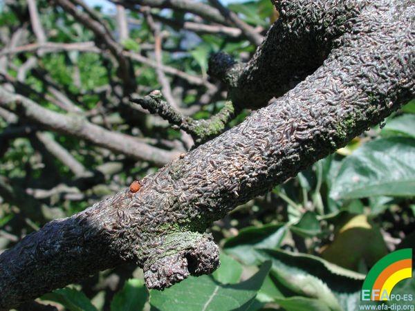 Lepidosaphes ulmi - Fuerte ataque de Lepidosaphes ulmi en manzano.jpg