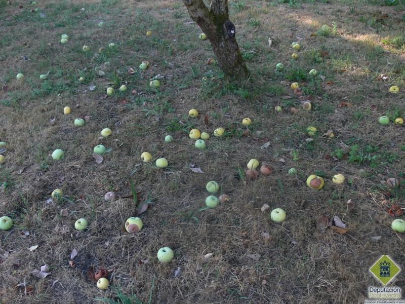 Manzanas en el entorno de un manzano en fase de pudrición.jpg