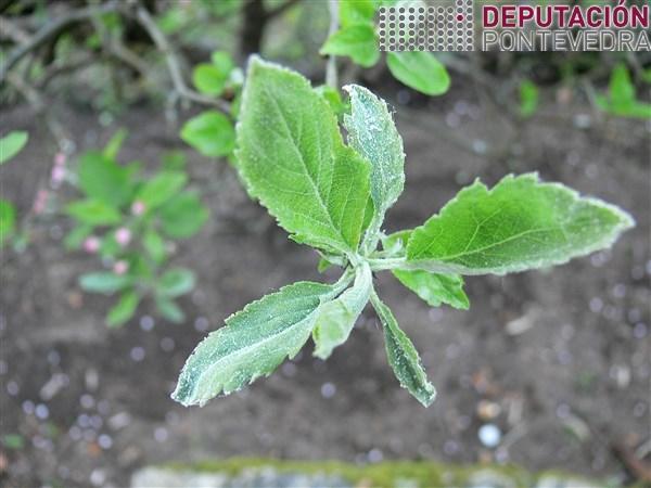Primeiros sintomas de oidio en maceira.jpg