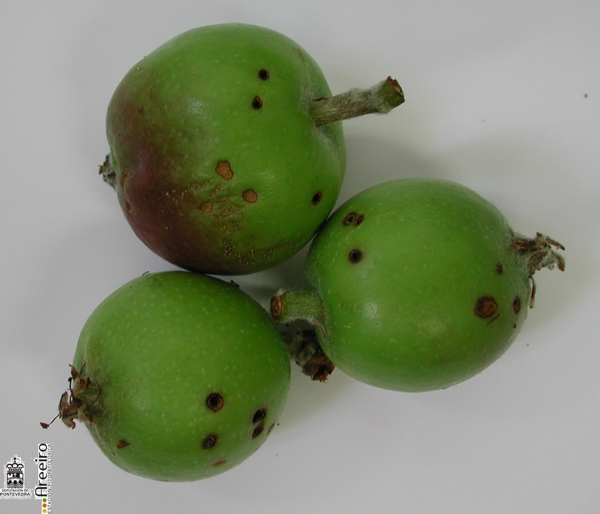 Rhynchites bacchus (Rinchites violeta) - Orificios de puesta.jpg
