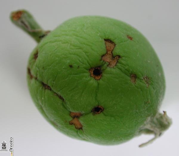 Rhynchites bacchus (Rinchites violeta) - Sintoma del desarrollo larvario en fruto.jpg