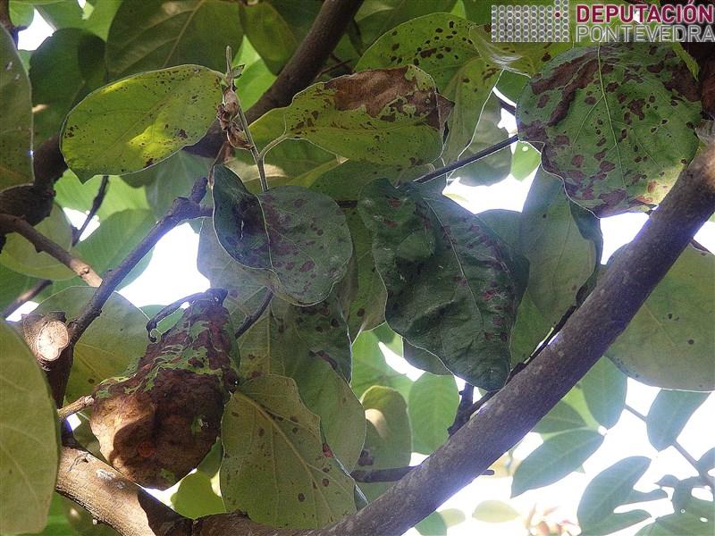 13xuñ18_A humidade provocou avance Entomosporium.jpg