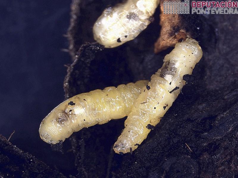 Larvas Rhagoletis completa en noz.jpg