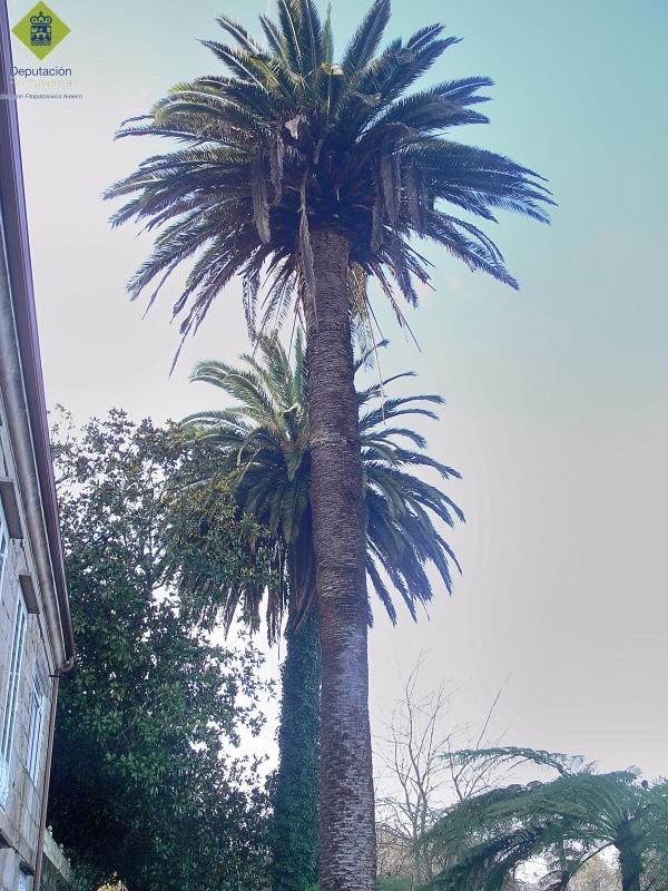 La altura de las palmeras dificulta la observacion de los.jpg