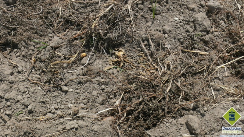 Restos de cultivo de patata.jpg