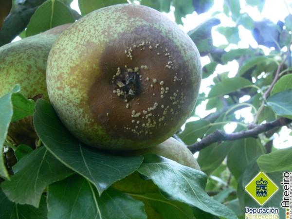 Fruto con ataque de Monilia.jpg