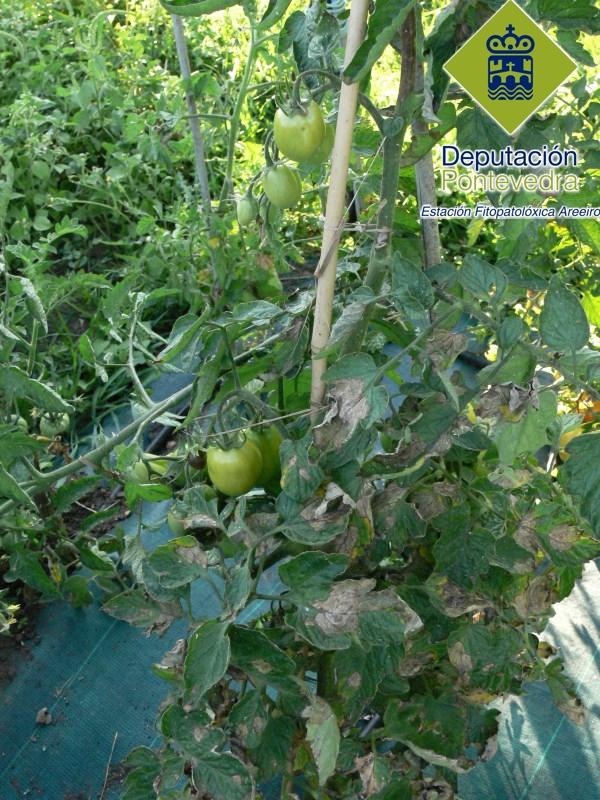 Planta de tomate afectada de mildiu.jpg