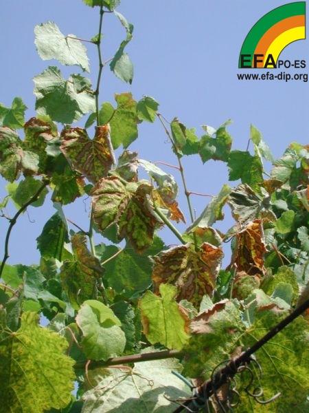 Síntomas en vegetación_3.jpg