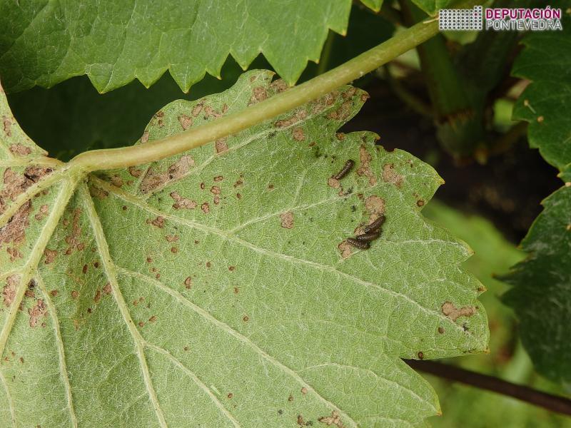 6 xuño 18 Larvas de Altica en parcela Vide.jpg