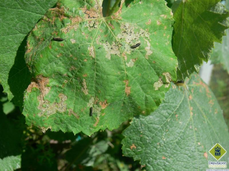 Larvas de Altica quercetorum en hoja de viña.jpg