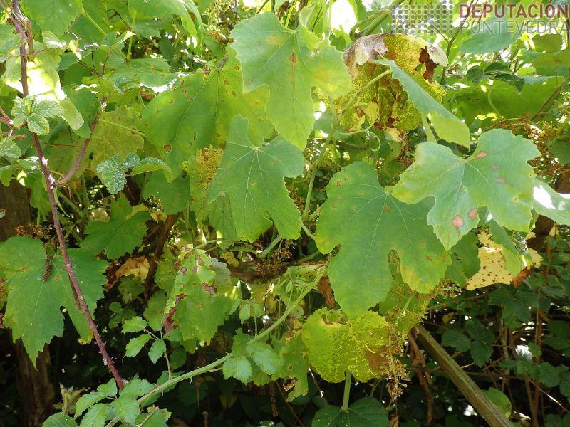 Plantas abandonadas Condado_mildio gaña black rot