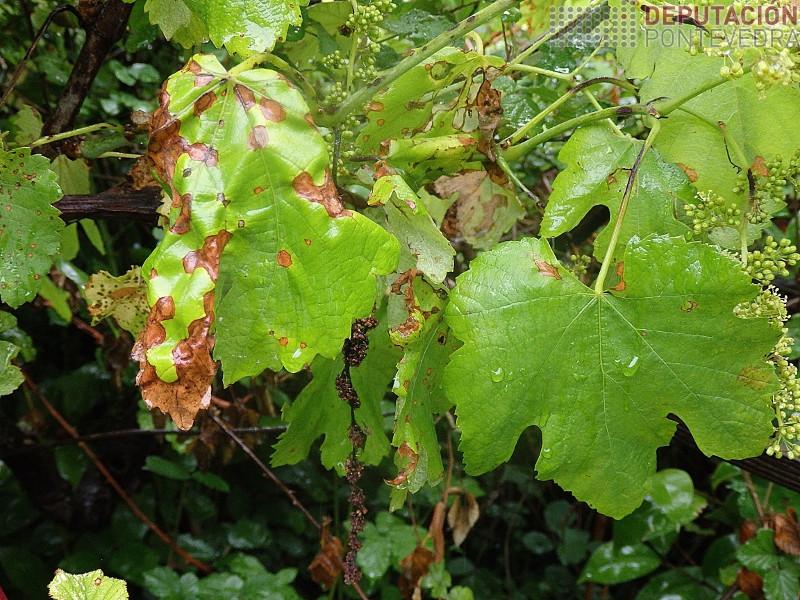 Plantas abandonadas son fonte inoculo black rot