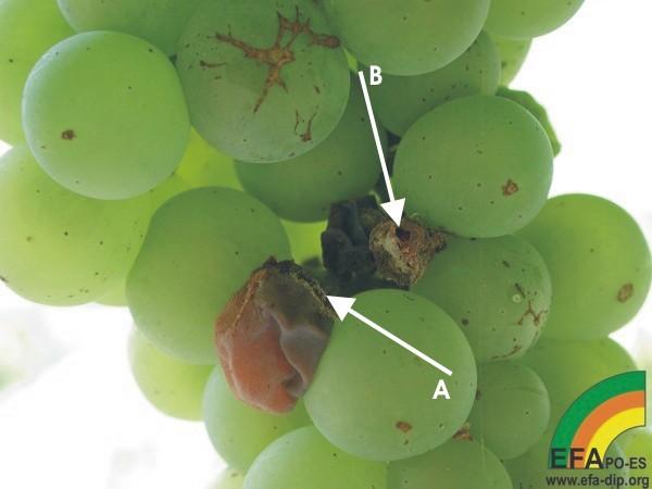Botrytis cinerea (Podredumbre gris) - Ataque incial de Botrytis en racimo de albariño.jpg