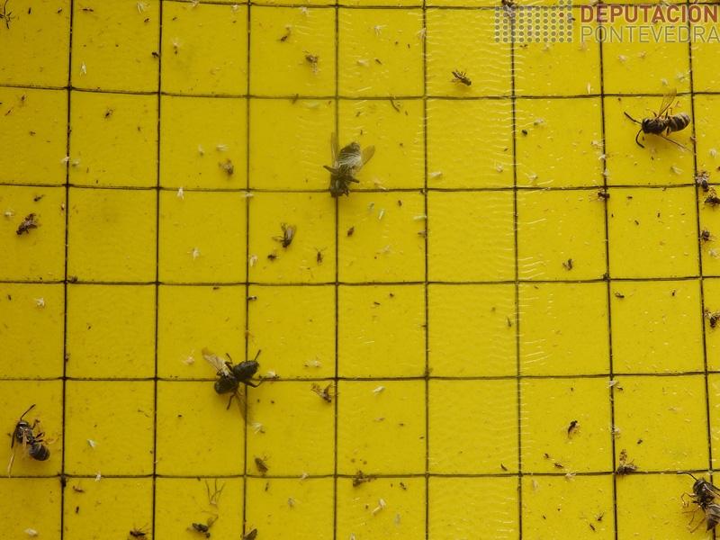 Vista parcial das capturas de cicadelidos desde inicio de campaña