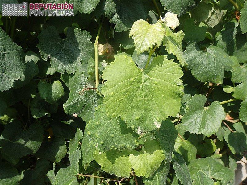 20190716_Incremento erinose nalgunhas viñas.jpg