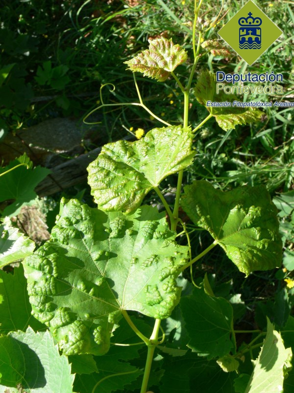 Síntomas de erinose de verán nunha variedade tinta