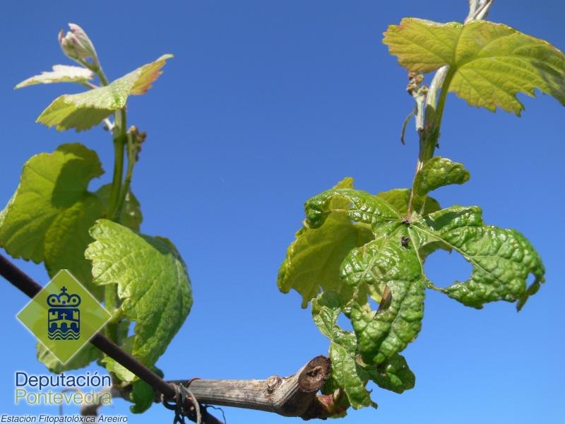 Dano pro gasterópodo en folla de viña